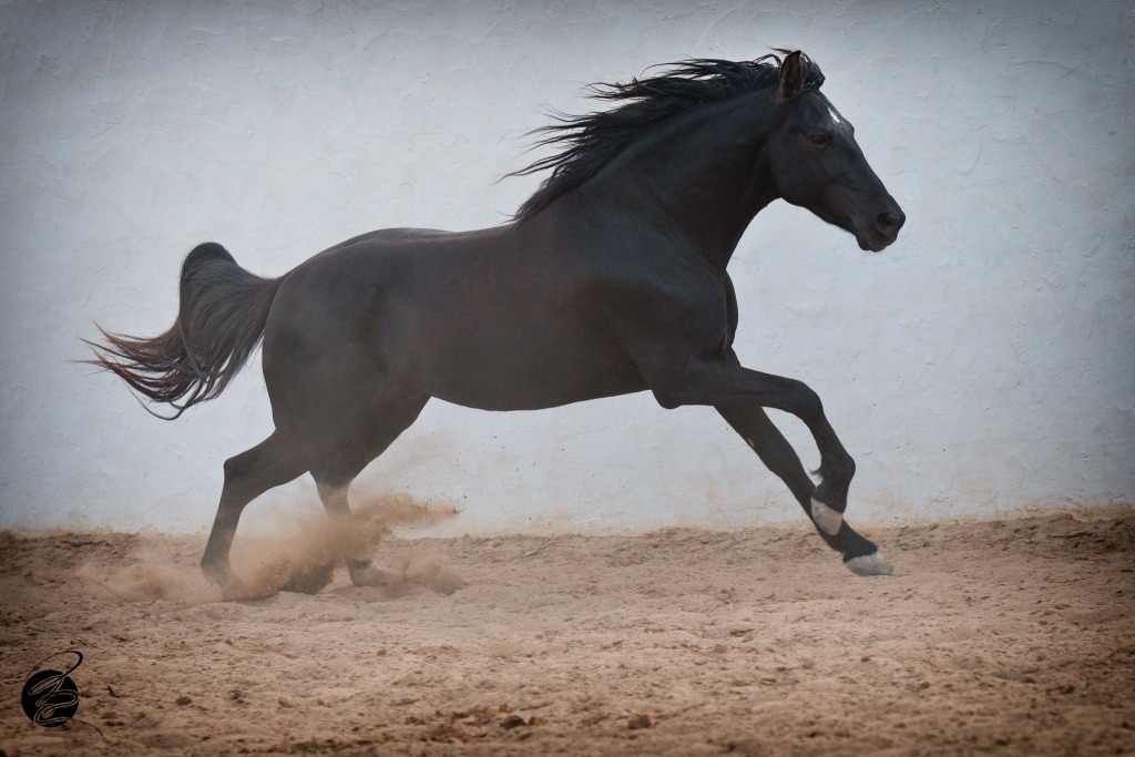 Berber-Arabier hengst