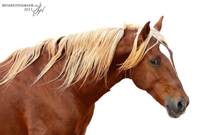 Berber Paard Portret