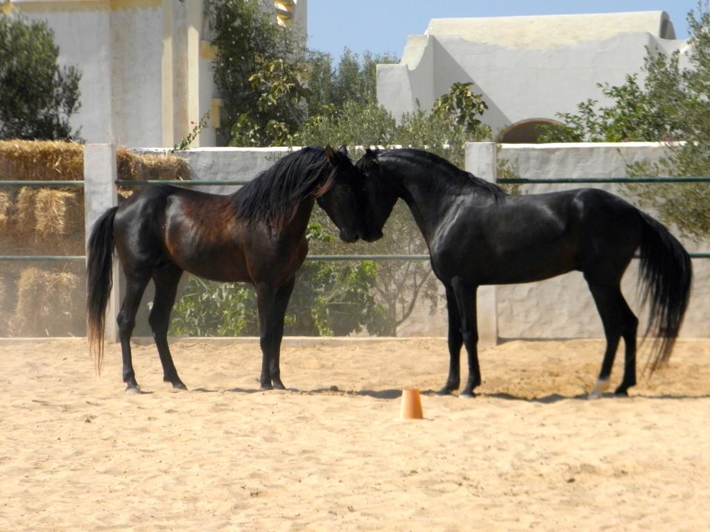Zwarte paarden snuffelen