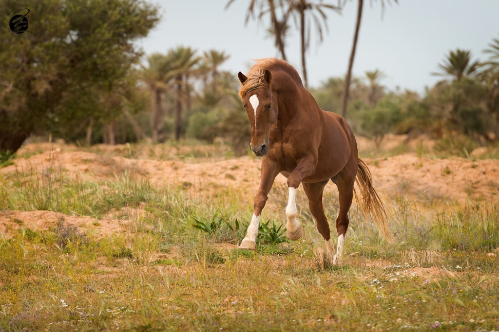 Berber paard in Djerba