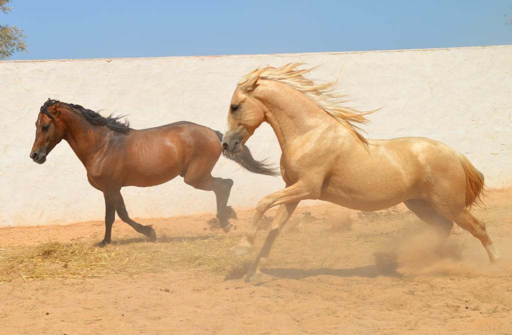 paarden in paddock